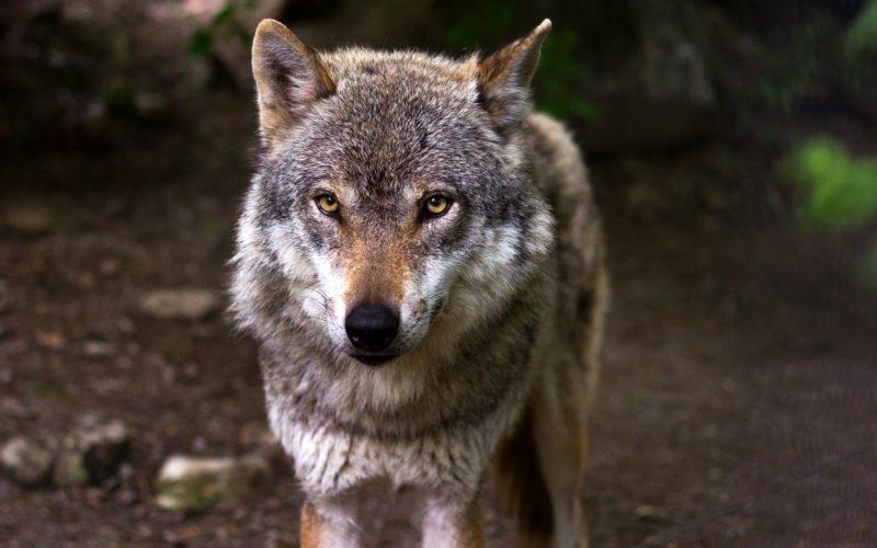 Жителей Смоленского Поозерья продолжают «терроризировать» волки