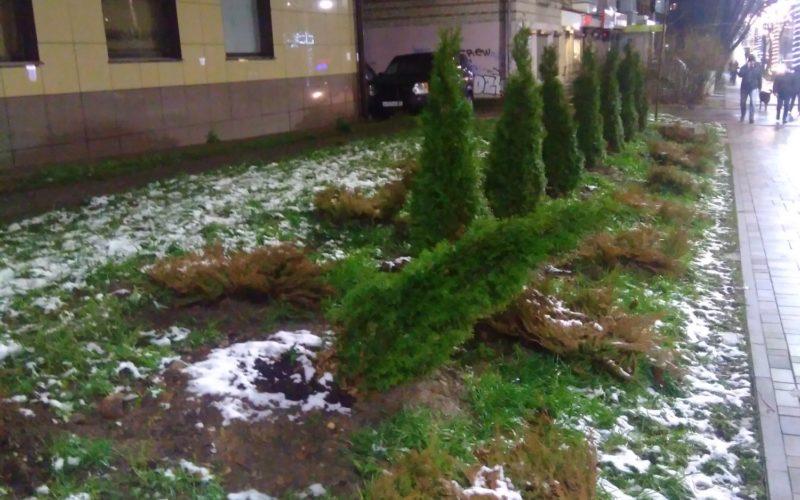 На Николаева в Смоленске снова выкопали молодые туи