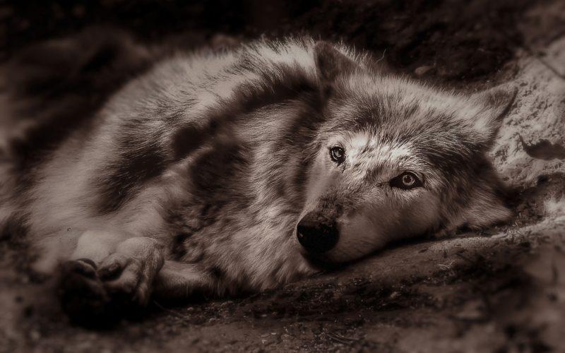 57 000 лет мумии волчонка, которую нашли на Аляске