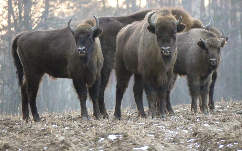 Смоленские зубры покинули территорию национального парка