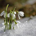 19 апреля во всем мире отмечают День подснежника. Смоленские экологи призывают не срывать их