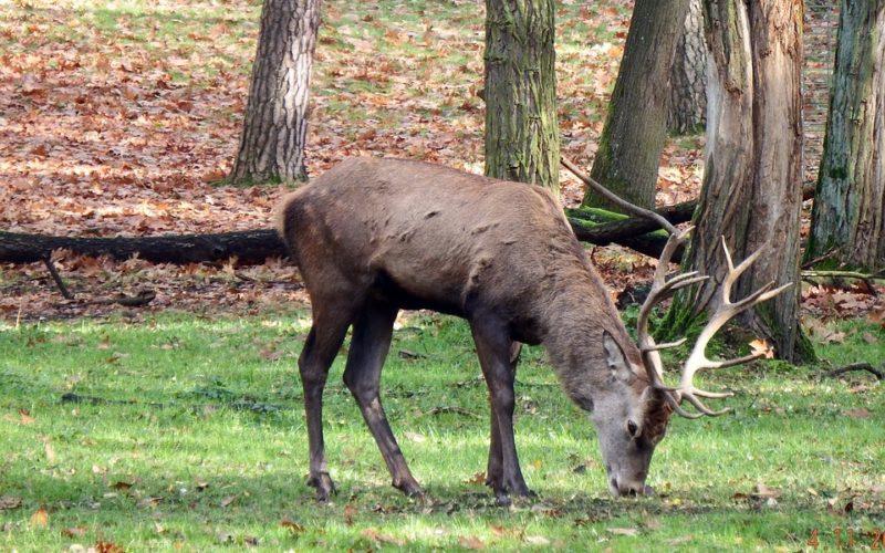 Европейский благородный олень был замечен в Смоленском Поозерье
