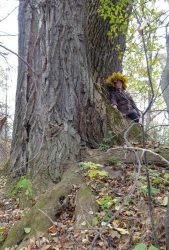 В Смоленской области 156-летний тополь претендует на звание главного дерева страны