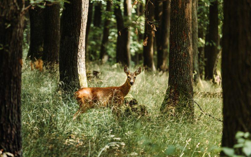 В национальном парке «Смоленское Поозерье» заметили олененка